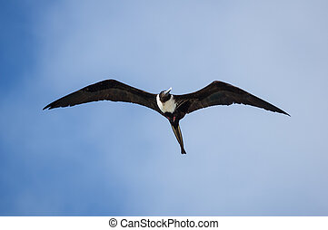 Magnificent Frigatebird - female magnificent frigatebird or...