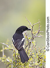 Fiscal Shrike Lanius collaris sitting in a bush in the...