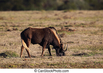 Black Wildebeest (Connochaetes gnou) in the Amakhala Game...