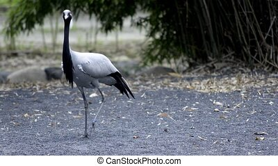 demoiselle cranes walking