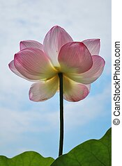 Low shot of lotus flower reaching for the sky, symbolizing...
