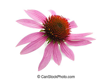 Coneflower isolated on white background