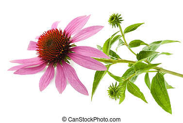 Coneflower wit leaves  isolated on white background
