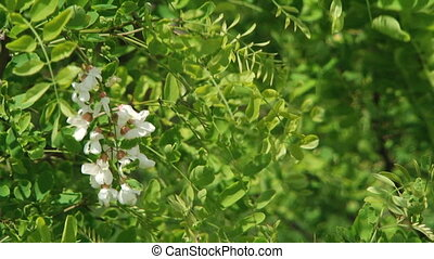 Bloom Of White Acacia - Flowers of a white acacia among...
