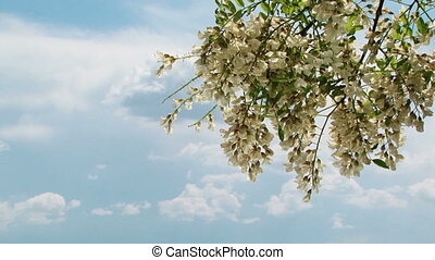 Branch With Acacia Tree Flowers Blooming in Springtime -...