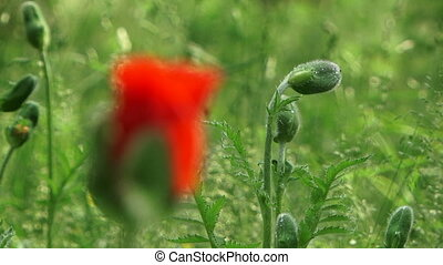 Single Poppy Bud Blossoming Changing Focus - Close-up shot...