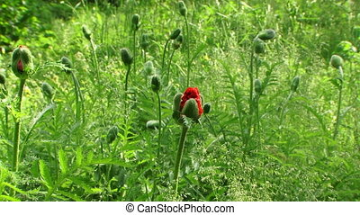 Poppy Bud Blossom In Field - Corn poppy blooming flower in...