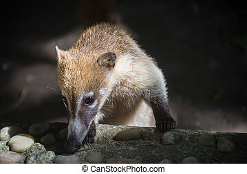 Coati cubs Looking with caution. Yucatan, Mexico jungle. -...