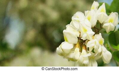 Blossom of Acacia Tree - Two frames Close-up shot of blossom...