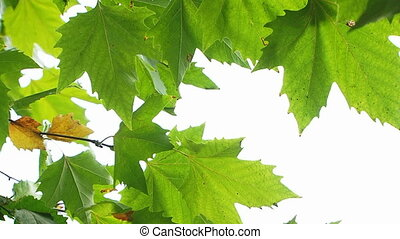 Maple Tree Green Leaves - Fresh maple tree leaves gently...