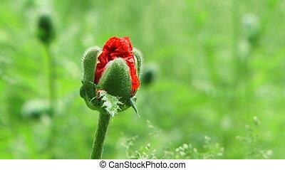 Poppy Bud Blossom