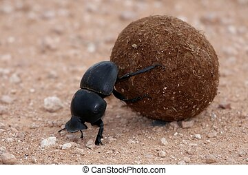 Dung Beetle - Rare dung beetle from Addo in South Africa...