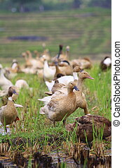ducks on rice fields in Bali