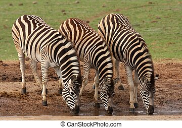 Zebra Drinking - Three zebras quenching their thirst at an...