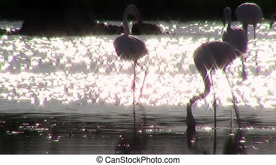 flamingos at sunset, backlight - pink flamingos colony