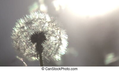Dandelion on Sunny Meadow - Flying dandelion seeds against...