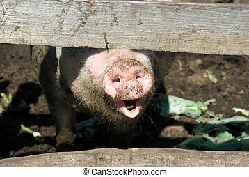 Domestic pig snout