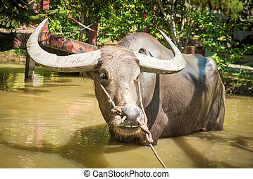 Big domestic water buffalo in water Vietnam