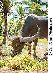 Big domestic water buffalo eating grass Vietnam