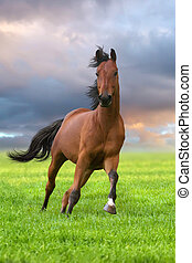 Bay stallion run in green field - Bay horse running gallop...