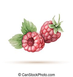 Raspberry hand drawn watercolor, on a white background....