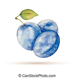 Plum hand drawn watercolor, on a white background Vector...