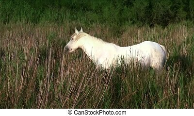 white horse in camargue - France, Camargue. Beautiful white...