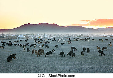 Herd of goats in the sunset at mongolian village