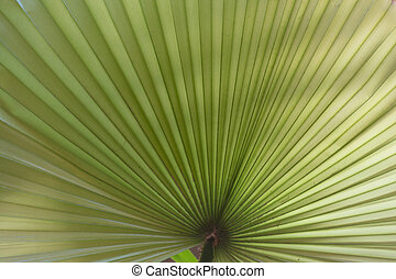 palm leaf - close up - Blatt einer Livistonapalme -...