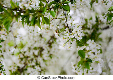 Sprig of cherry blossoms