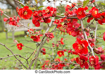 Dwarf quince bush with red spring flowers