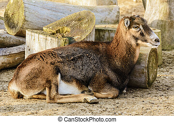 Goat Without Horns Lying Near Logs