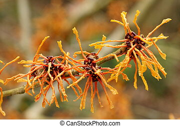 Witch Hazel - Witch hazel flower in late winter bloom