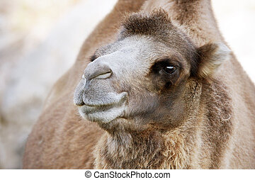 Cute Bactrian camel - Profile portrait of a Bactrian camel,...