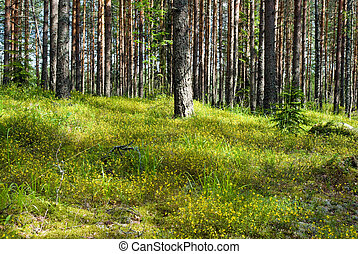 Sunny pine forest with cow-wheat flowering carpet