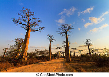 Baobab alley vibrance - Beautiful Baobab trees at sunset at...