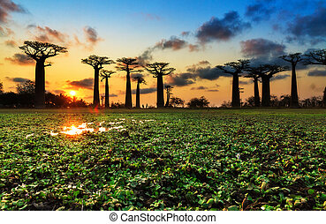 Sunset colors Baobab alley - Beautiful Baobab trees at...