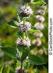 Mentha spicata Spearmint, Spear Mint