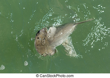 Bonnethead Shark - Young Bonnethead Shark on fishing line