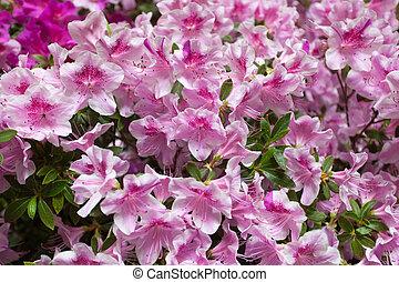 florescer, Cor-de-rosa, rhododendrons, flor, fundo,