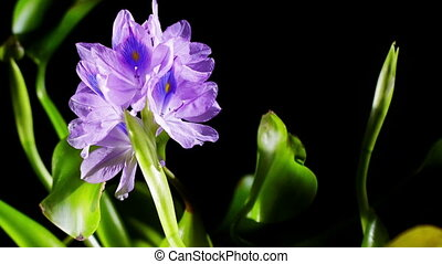Water Hyacinth Timelapse - Blooming water hyacinth flower...