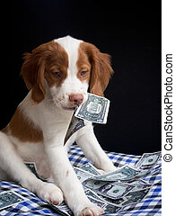 brittany pupy eating money - expensive brittany puppy eating...