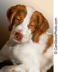 brittany puppy - very sleepy bittany spaniel puppy in the...