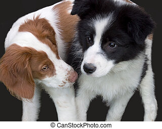 brittany and border collie puppy - brittany dog playing with...