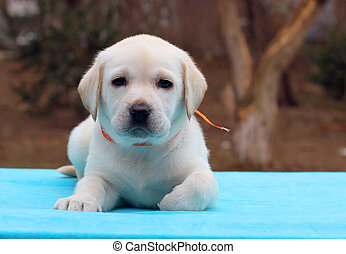the labrador puppy on blue background - the yellow labrador...