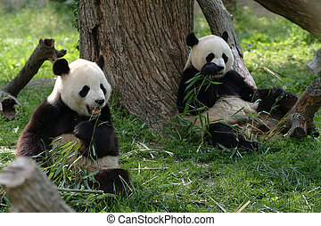Giant pandas in a field - Two Giant pandas in a field with a...