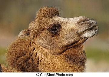 Proud Bactrian camel - Proud, head high Bactrian camel,...