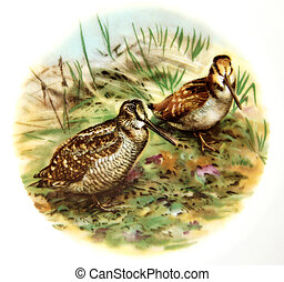 Eurasian Woodcock - The picture shows Eurasian Woodcock...