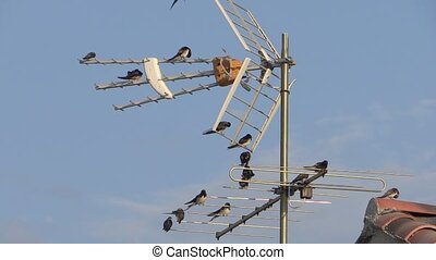 swallows on a tv antenna