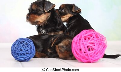 Yorkshire terrier puppy and wicker balls